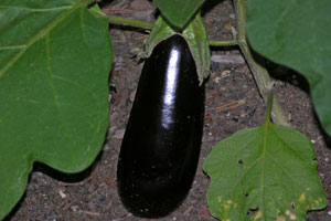 First-Eggplant_01