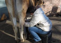 Milking-1
