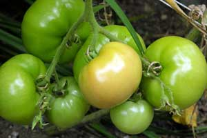 Heavy-tomatoes-1