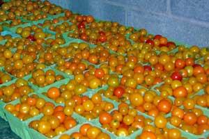ES-Tomatoes-1