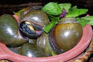 Vietnam_Snails-1