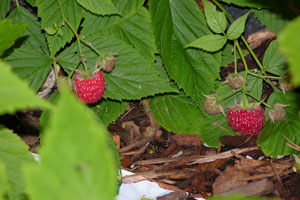 Raspberry-bramble