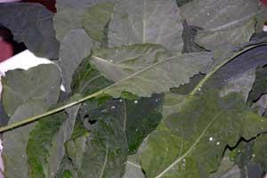 Garden-updates-kale