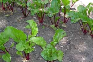 Garden-updates-beets