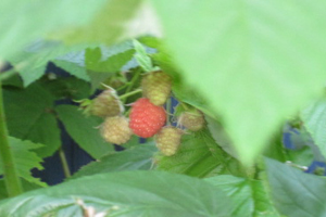 Raspberries-lone-ripe