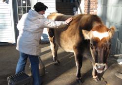 Milking-2