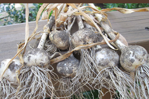 Garlic-harvested