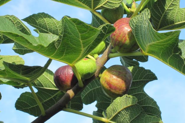 Fig-tree2