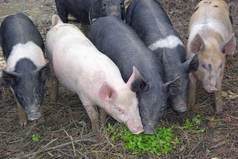 Feeder-Pigs