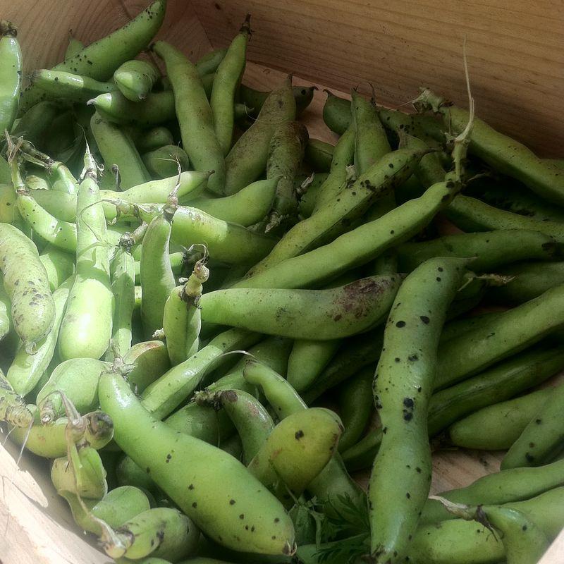 Fava-Beans-1